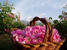 roses for perfume